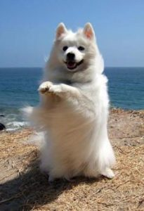american-eskimo-dog-dog-breed-information-22