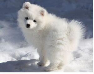 american-eskimo-dog-dog-breed-information-24