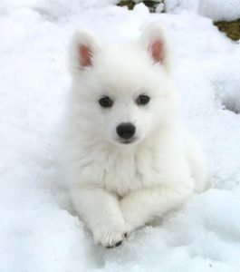 american-eskimo-dog-dog-breed-information-25
