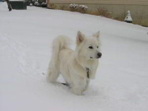american-eskimo-dog-dog-breed-information-3