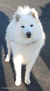 american-eskimo-dog-dog-breed-information-4