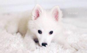 american-eskimo-dog-dog-breed-information-8