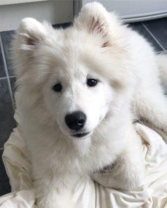american-eskimo-dog-dog-breed-information-9