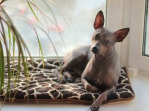 american-hairless-terrier-dog-breed-information-1