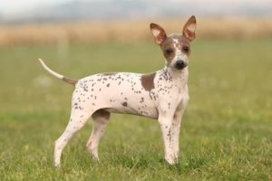 american-hairless-terrier-dog-breed-information-11