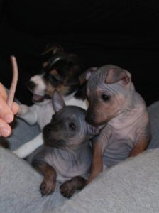 american-hairless-terrier-dog-breed-information-13