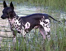 american-hairless-terrier-dog-breed-information-14