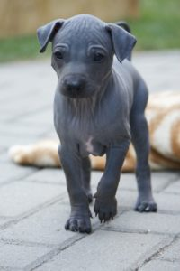 american-hairless-terrier-dog-breed-information-15