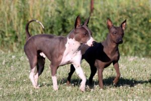 american-hairless-terrier-dog-breed-information-18