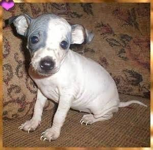 american-hairless-terrier-dog-breed-information-19