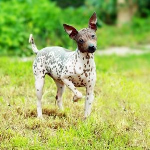 american-hairless-terrier-dog-breed-information-2