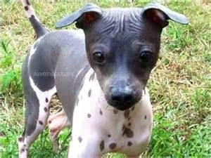 american-hairless-terrier-dog-breed-information-20