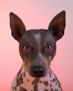 american-hairless-terrier-dog-breed-information-22