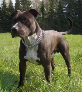 american-hairless-terrier-dog-breed-information-23