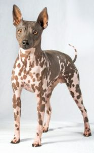 american-hairless-terrier-dog-breed-information-25