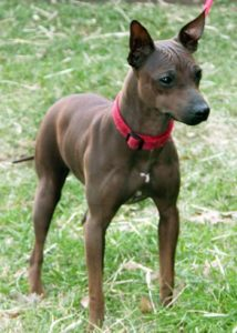 american-hairless-terrier-dog-breed-information-3