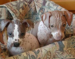 american-hairless-terrier-dog-breed-information-4