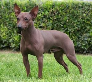 american-hairless-terrier-dog-breed-information-8