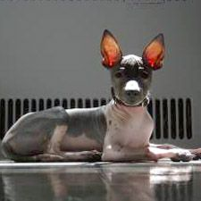american-hairless-terrier-dog-breed-information-9