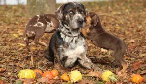 american-leopard-hound-dog-breed-information-11