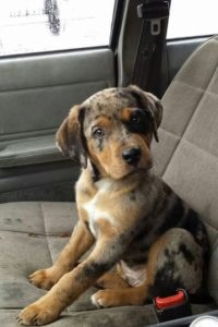 american-leopard-hound-dog-breed-information-12
