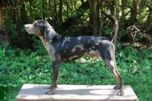american-leopard-hound-dog-breed-information-13