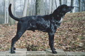 american-leopard-hound-dog-breed-information-15