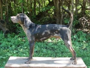 american-leopard-hound-dog-breed-information-16