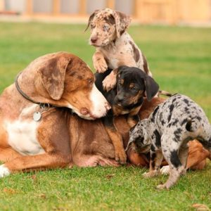 american-leopard-hound-dog-breed-information-17