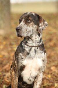 american-leopard-hound-dog-breed-information-2