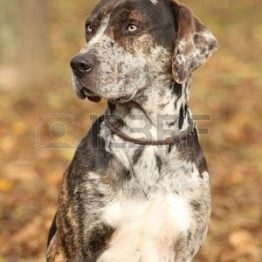 American Leopard Hound Dog Breed Information, Popular Pictures