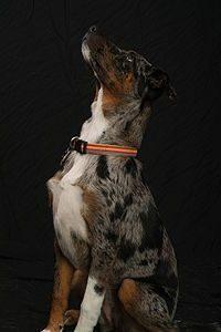 american-leopard-hound-dog-breed-information-3
