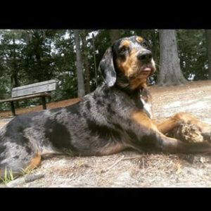 american-leopard-hound-dog-breed-information-4