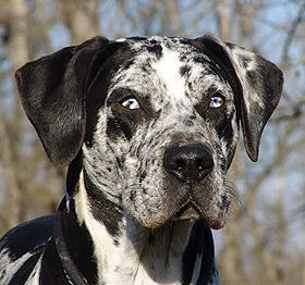 american-leopard-hound-dog-breed-information-5