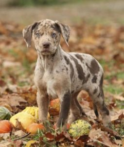 american-leopard-hound-dog-breed-information-7