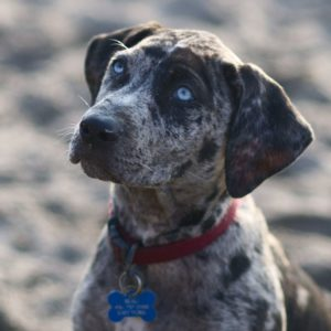 american-leopard-hound-dog-breed-information-8
