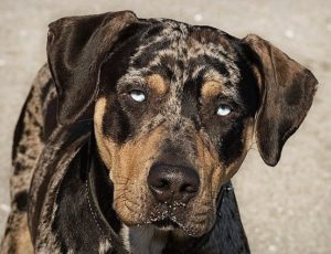 american-leopard-hound-dog-breed-information-9
