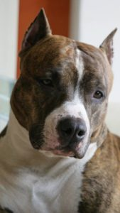 american-staffordshire-terrier-dog-breed-information-10
