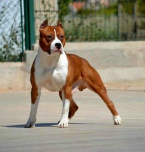 american-staffordshire-terrier-dog-breed-information-13