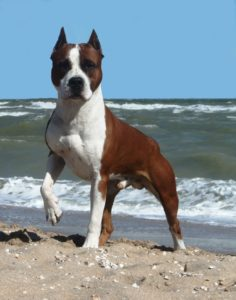 american-staffordshire-terrier-dog-breed-information-14
