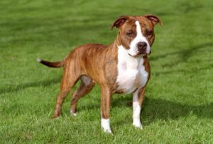 american-staffordshire-terrier-dog-breed-information-16