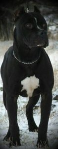 american-staffordshire-terrier-dog-breed-information-18