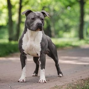 american-staffordshire-terrier-dog-breed-information-21