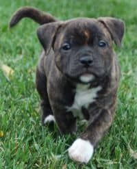 american-staffordshire-terrier-dog-breed-information-22