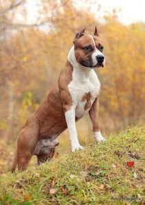 american-staffordshire-terrier-dog-breed-information-23