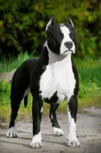 american-staffordshire-terrier-dog-breed-information-8