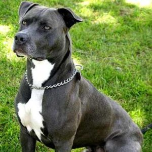 american-staffordshire-terrier-dog-breed-information-9