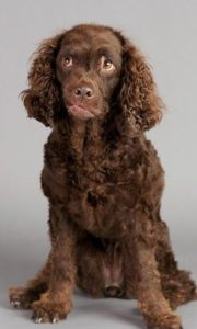 american-water-spaniel-dog-breed-information-10
