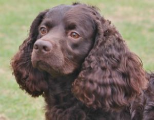 american-water-spaniel-dog-breed-information-11