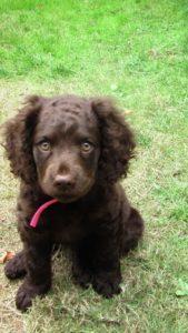american-water-spaniel-dog-breed-information-12